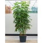 Schefflera arboricola XL kamerplant