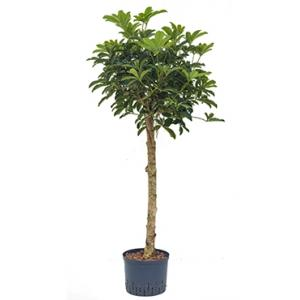 Schefflera arboricola stam XL hydrocultuur plant