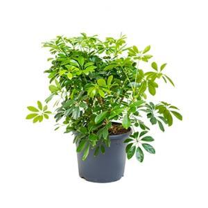 Korting Schefflera arboricola L kamerplant