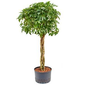 Schefflera arboricola gevlochten M hydrocultuur plant