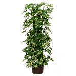 Schefflera gold capella 6pp hydrocultuur plant