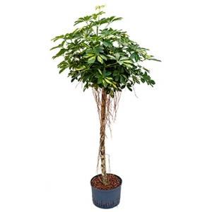 Schefflera gold capella stam hydrocultuur plant