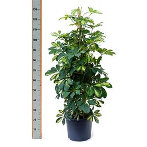 Schefflera gold capella pyramis kamerplant