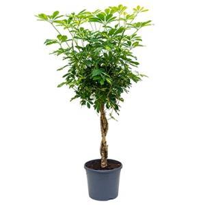 Schefflera gold capella gevlochten kamerplant