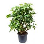 Schefflera gold capella vertakt kamerplant