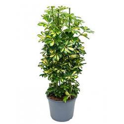 Schefflera gold capella toef kamerplant