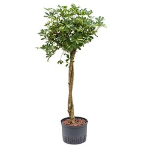 Schefflera gold capella stam twist hydrocultuur plant