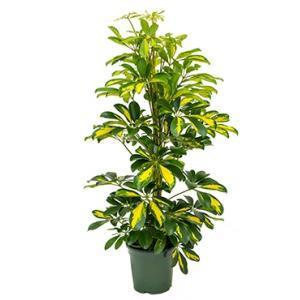 Schefflera gold capella S kamerplant