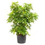 Schefflera gold capella vertakt L hydrocultuur plant