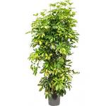 Schefflera gold capella M kamerplant