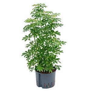 Schefflera louisiana hydrocultuur plant