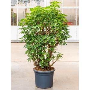 Schefflera louisiana kamerplant
