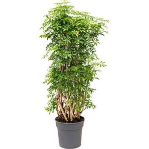 Schefflera luseana L kamerplant