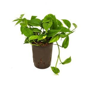Scindapsus Epipremnum aureum hydrocultuur hangplant