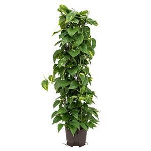 Scindapsus Epipremnum aureum 120 hydrocultuur plant