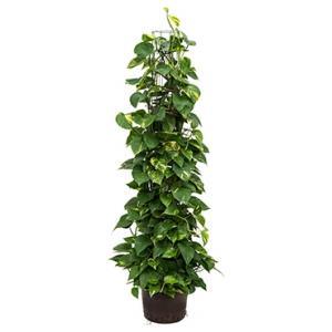 Scindapsus Epipremnum aureum 150 hydrocultuur plant