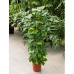 Scindapsus epipremnum aureum S kamerplant