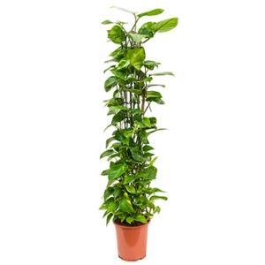 Scindapsus epipremnum aureum M kamerplant