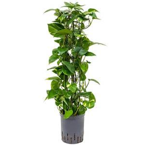 Scindapsus Epipremnum aureum 80 hydrocultuur plant