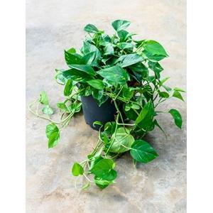 Scindapsus epipremnum aureum XXL hangplant