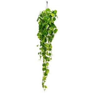 Scindapsus epipremnum aureum L hangplant