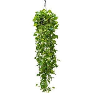Scindapsus epipremnum aureum XL hangplant