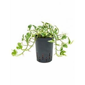 Scindapsus joy hydrocultuur hangplant