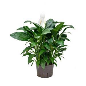 Spathiphyllum gokyo L hydrocultuur plant