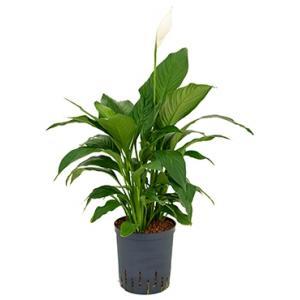 Dagaanbieding - Spathiphyllum gokyo M hydrocultuur plant dagelijkse aanbiedingen