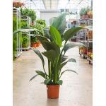 Spathiphyllum sensation S kamerplant