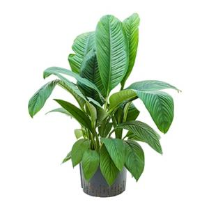Spathiphyllum sensation XL hydrocultuur plant