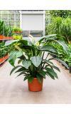 Spathiphyllum sensation M kamerplant