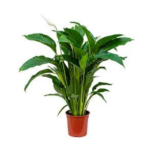 Spathiphyllum sweet lauretta M kamerplant