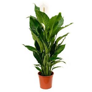 Spathiphyllum sweet sebastiano kamerplant