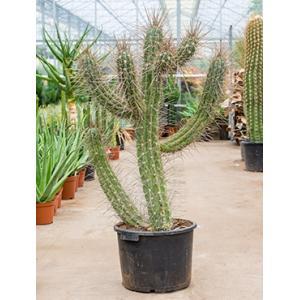 Stetsonia cactus coryne XL kamerplant