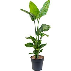 Strelitzia nicolai P kamerplant