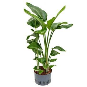 Strelitzia nicolai L hydrocultuur plant