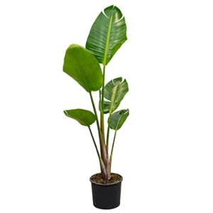 Strelitzia nicolai S kamerplant