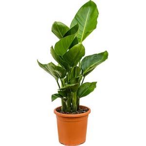 Strelitzia nicolai O kamerplant