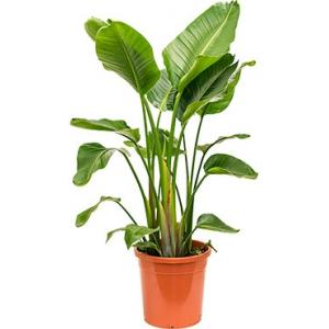 Strelitzia nicolai XL kamerplant