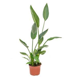 Strelitzia reginae XS kamerplant