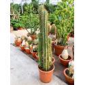 Trichocereus cactus pachanoi M kamerplant