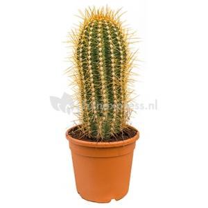 Trichocereus cactus pasacana M kamerplant
