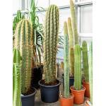 Trichocereus cactus terschechii XL kamerplant