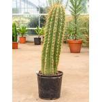 Trichocereus cactus terschechii L kamerplant