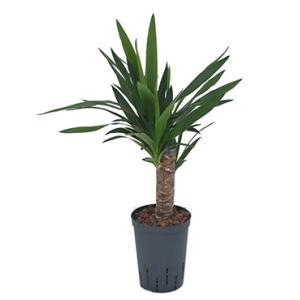 Yucca M hydrocultuur plant