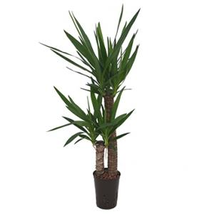 Yucca duo hydrocultuur plant
