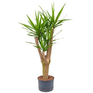 Dagaanbieding - Yucca vertakt L hydrocultuur plant dagelijkse aanbiedingen