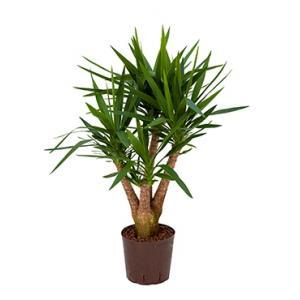 Yucca vertakt M hydrocultuur plant