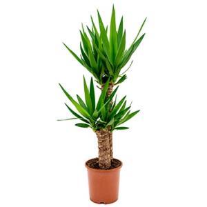 Yucca elephantipes stam S kamerplant